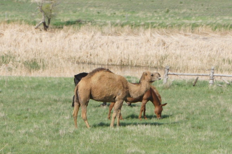 No idea why he was there, but there was a camel in a field next to our campground in South Dakota
