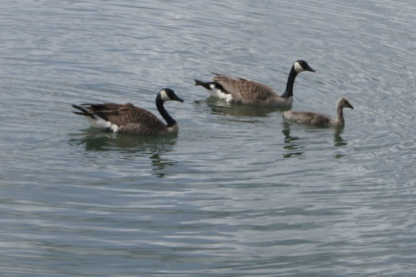 Just one group of many Canada Geese on the river