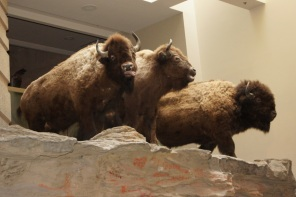 Buffalo watching over one of the exhibition rooms at Interpretive Center
