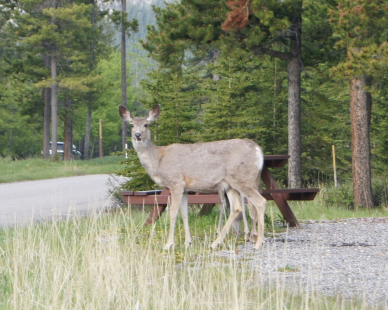Mule Deer in the campground