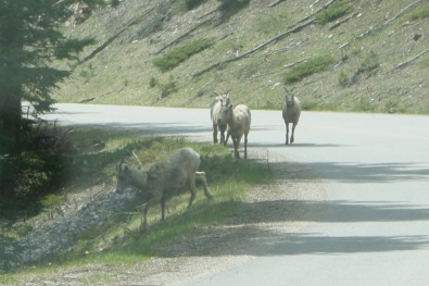 Mountain Goats on the Lake Minnewanka Loop