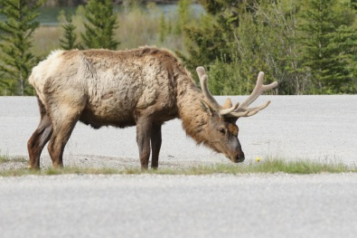 Elk by the side of the road in Banff National Park