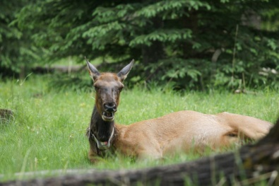The elk were enjoying the grass in two empty campsites