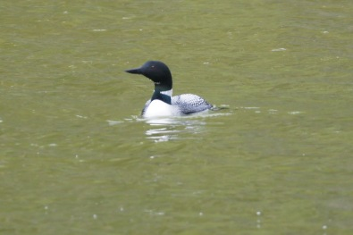 There were two loons in a lake along the Marmot Basin Drive