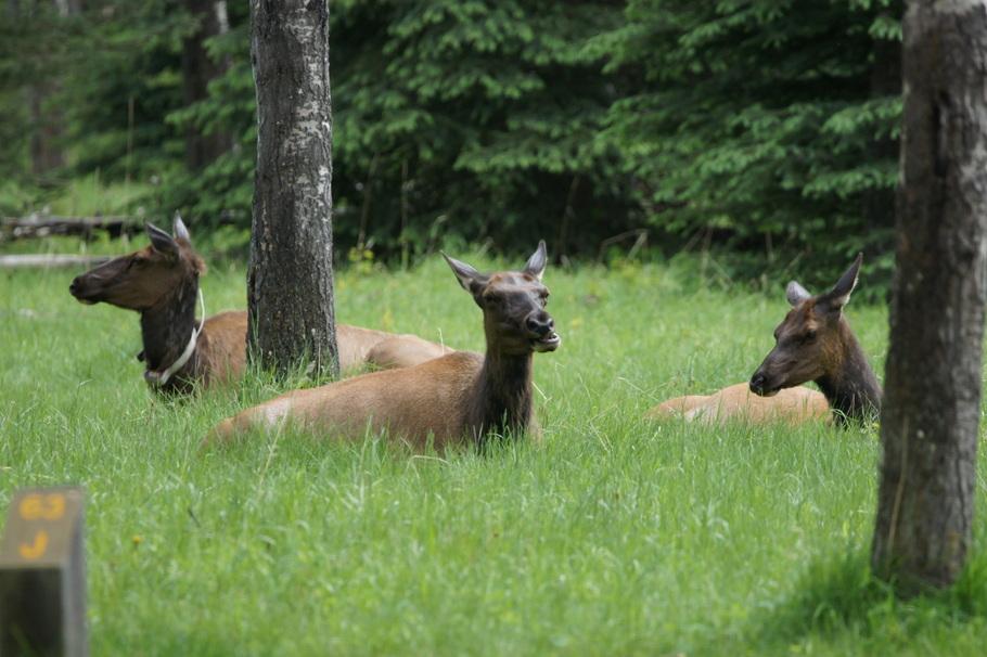 Elk in loop 63