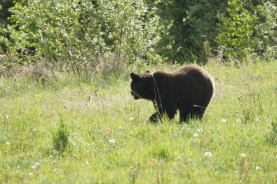 Another bear in British Columbia