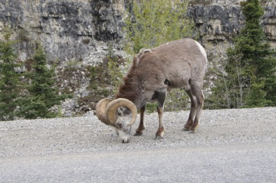 Stone Sheep on the Alaska Highway