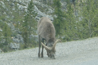 A mountain goat by the road