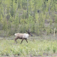 Day 28: Wildlife Sightings on the way to Liard River Hotsprings