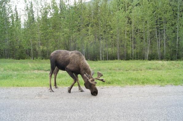 Moose on the Alaska Highway