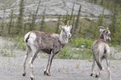 Mountain goats beside the Alaska Highway