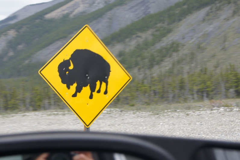 Wood bison roam near the highway for the next 70 miles
