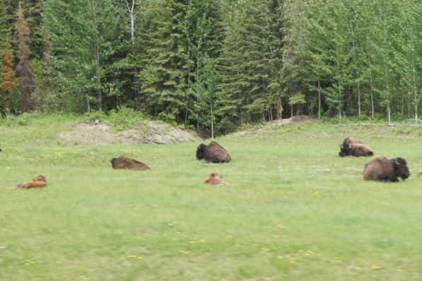 We saw these bison with their calves just after we saw the sign