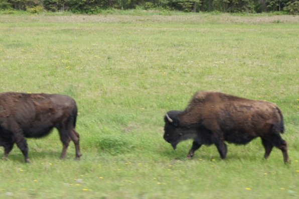 Bison near Liard Hotsprings