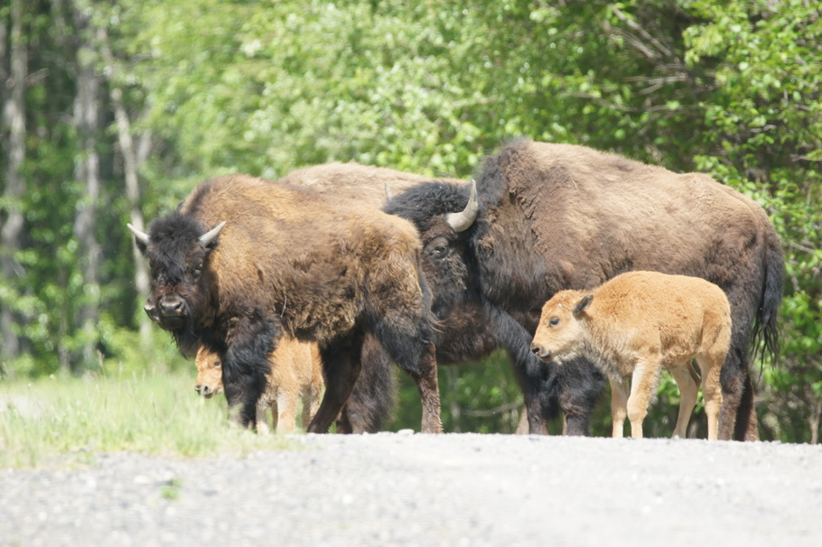 A small herd with calves