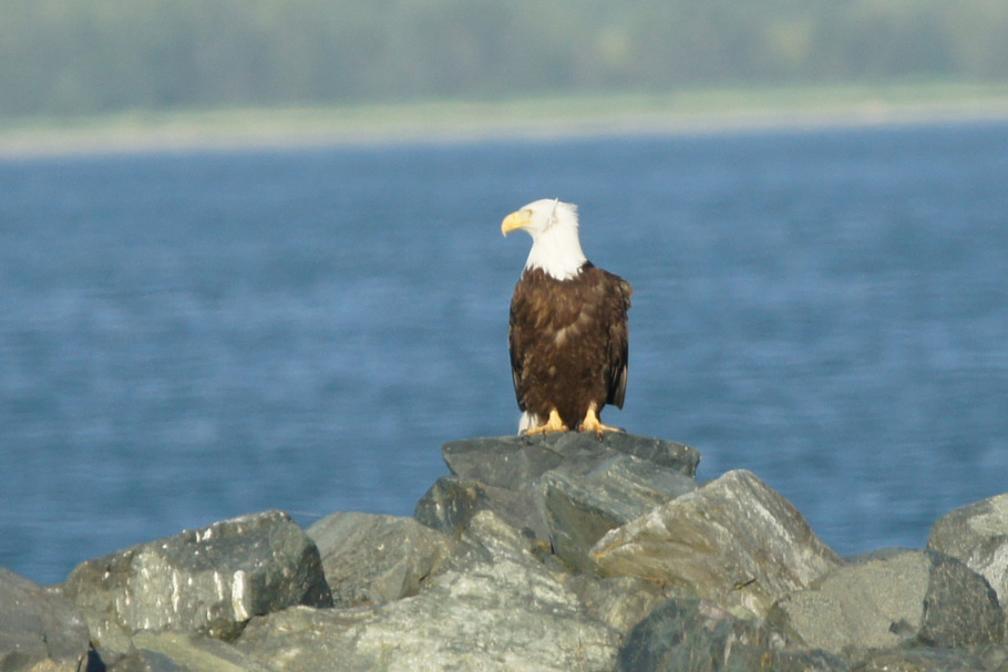 A Bald Eagle on our first day in Haines