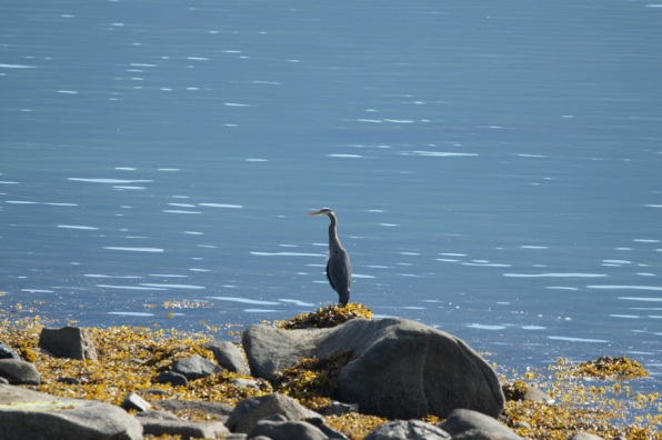 A Blue Heron in Haines