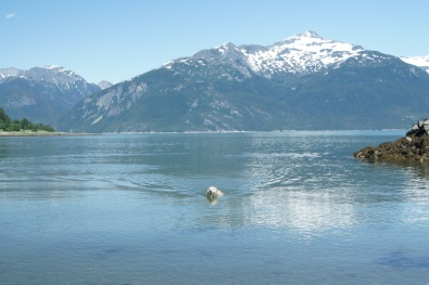 Blondie swimming in Haines, Alaska