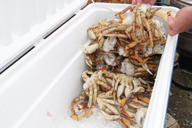 38 Dungeness Crabs