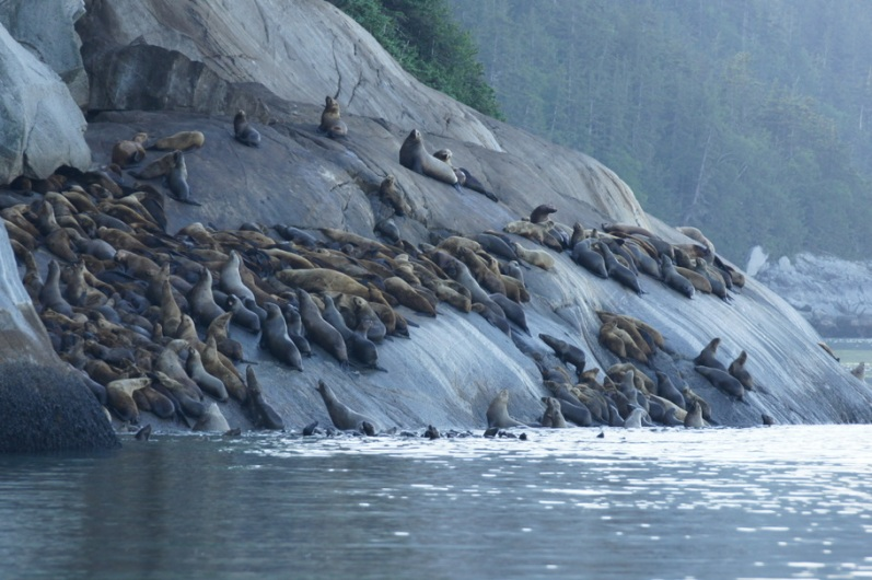 Steller Sea Lion Rookery