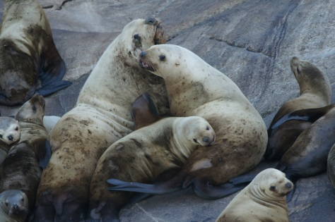Stellar Sea Lions on day trip to Juneau