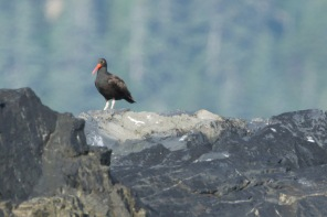 Oystercatcher at the lighthouse