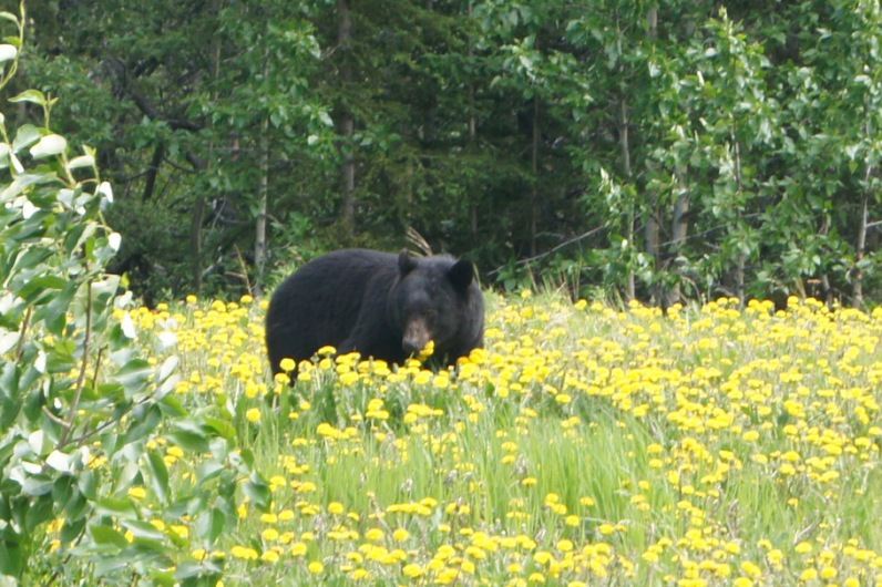 Black Bear beside the road in British Columbia