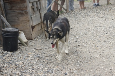 One of the Alaskan Husky sled dogs