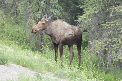 Moose beside the road as we were leaving Denali