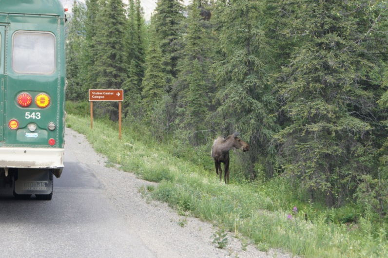 The green shuttle bus stopped to look at the moose