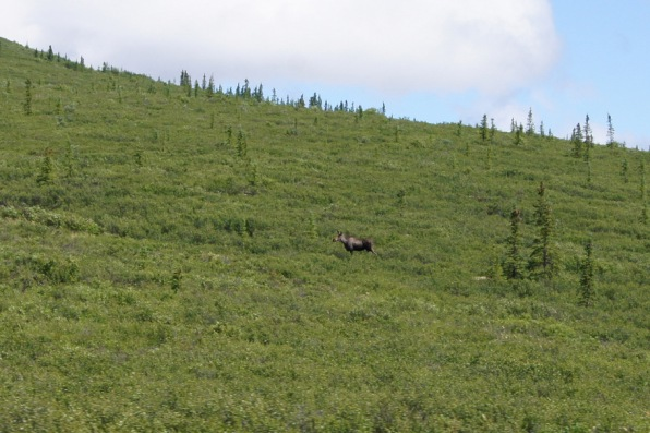 The shuttle bus was stopped to look at this moose