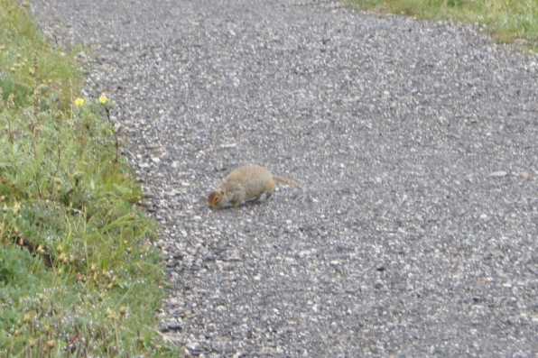 Arctic Ground Squirrel, otherwise known as suicidal ground squirrels because they run out in the road right in front of vehicles.