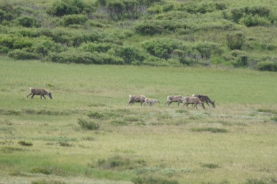 We watched this Caribou herd as they moved quickly through the field