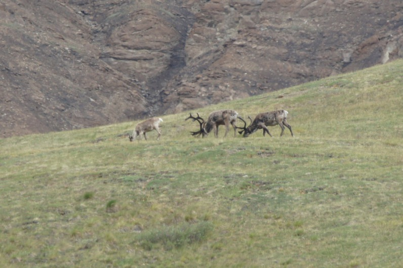 Caribou grazing in Denali National Park