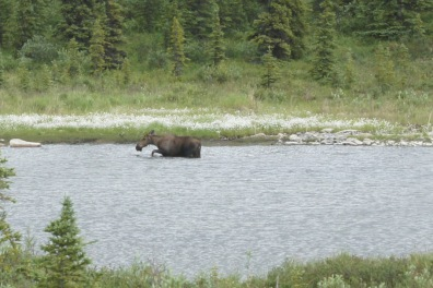 We saw this moose in a pond after we left Kantishna