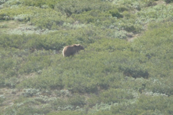 Second Grizzly sighting of the day