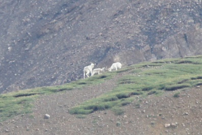 Three Dall sheep. The two rams are butting heads