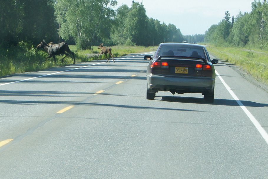 Moose cow and calf crossing the road
