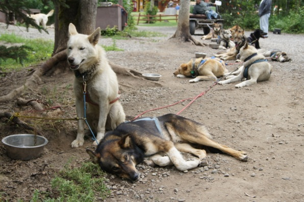 Iditarod dog team taking a break