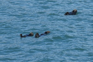 Sea otters enjoying the day
