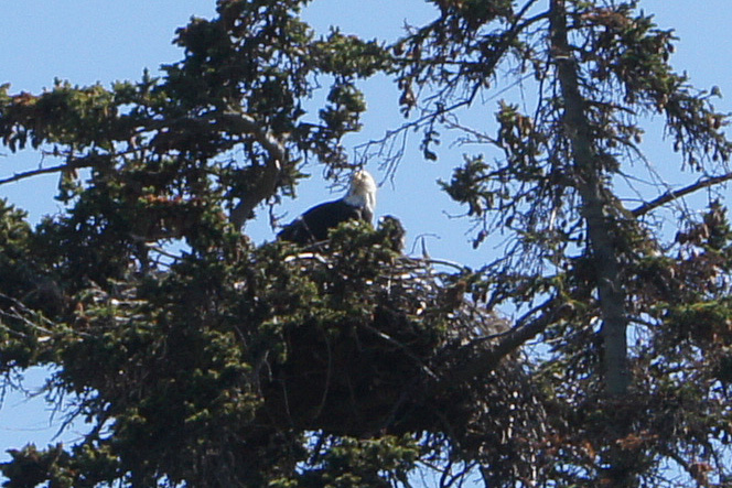 Mama and Baby Eagles across from Homer Post Office