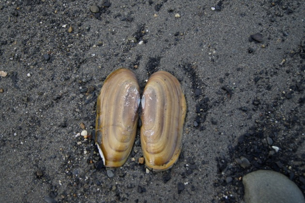 Razor clam shell. Digging for these razor clams is a popular activity along the beach.