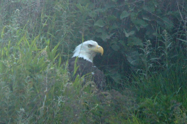 Eagle on the bluff overlooking the water