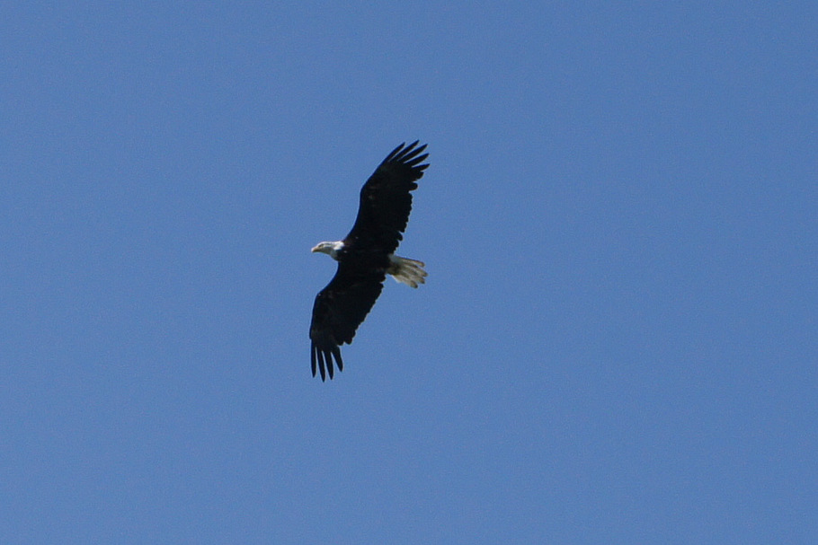 Eagle soaring over bluff at Russian Orthadox Church