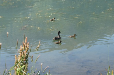 Mama and baby ducks at Tern Lake