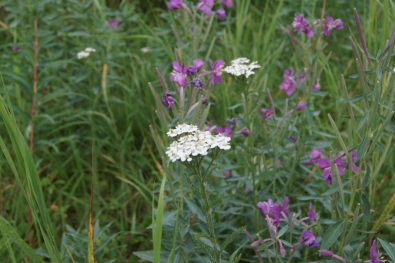 Northern Yarrow and Wild Geranium