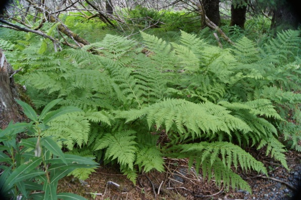 Ferns covered the ground beneath the trees