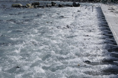Thousands of salmon in the water