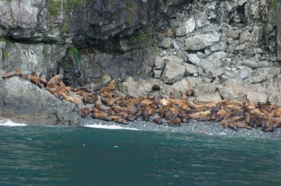 Hundreds of juvenile Stellar Sea Lions