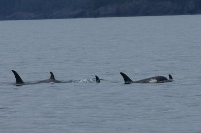 We finally saw Orcas!